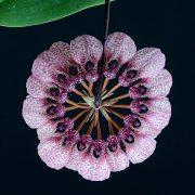 Crown of Serenity orchidea eszencia