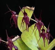 Defender from the Dark orchidea eszencia