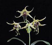 Fruits of Love orchidea eszencia