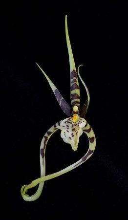 Heaven's Gate orchidea eszencia