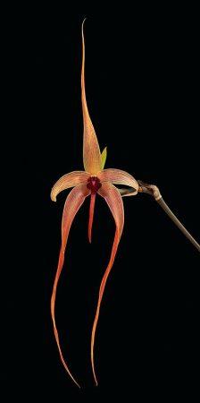 Internal Cleansing orchidea eszencia