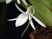 Joyous Purification orchidea eszencia