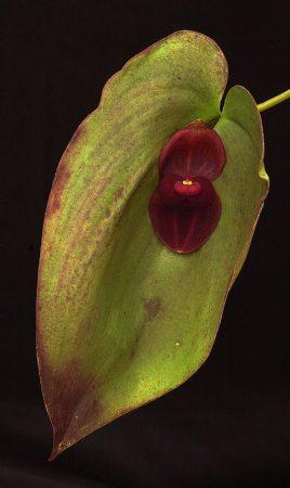Knight's Cloak orchidea eszencia