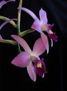 Laughing Butterflies orchidea eszencia