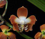 Love's Secret orchidea eszencia