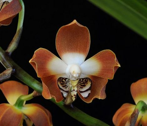 Love's Secret orchidea eszencia