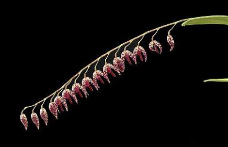 Mercutio orchidea eszencia