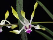 Moon Child orchidea eszencia