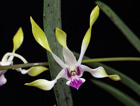 Moon Child orchidea eszencia