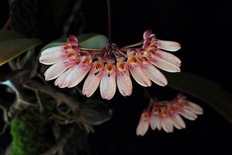 Necklace of Beauty orchidea eszencia