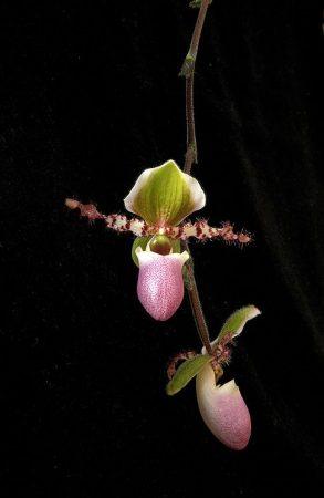 New Vitality orchidea eszencia