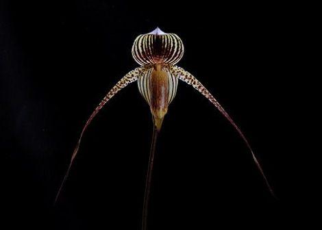 Night Soul orchidea eszencia