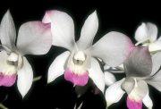 Sacral Release orchidea eszencia