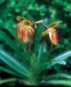 Serendipity orchidea eszencia