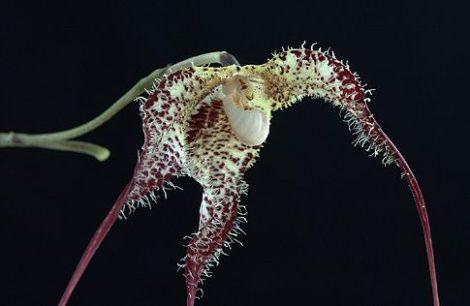 Shadow Facing orchidea eszencia