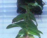 Thoracic Alignment orchidea eszencia
