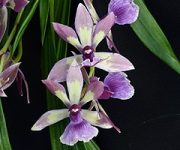True Connections orchidea eszencia