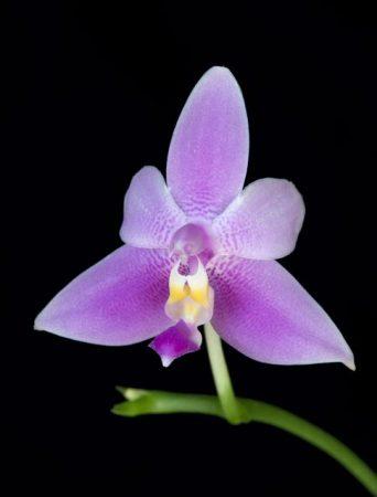 Violacea Veritas orchidea eszencia
