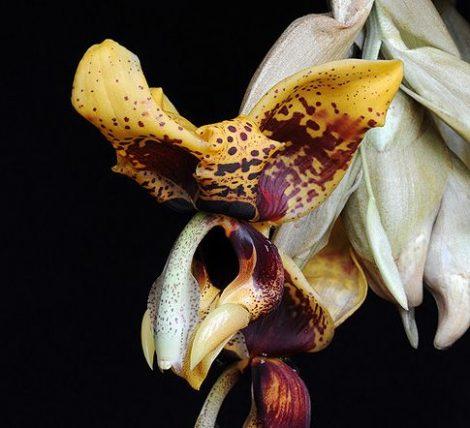 Voice of Courage orchidea eszencia