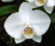 White Beauty orchidea eszencia
