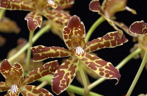 Winged Gold orchidea eszencia