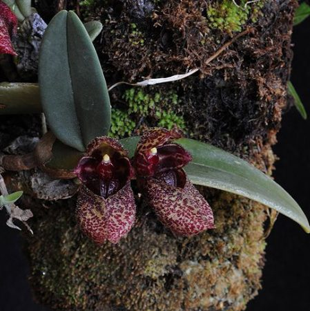 Winged Messenger orchidea eszencia