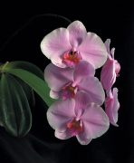 The Wisdom of Compassion orchidea eszencia