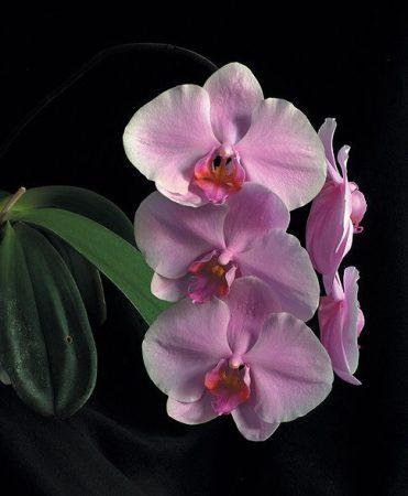 The Wisdom of Compassion orchidea eszencia