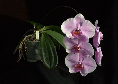 The Wisdom of Compassion with Gold orchidea eszencia