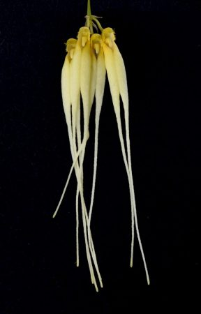 Silver Ghost orchidea eszencia