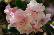 Rhododendron Brocade Plus