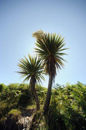 Ti Kuoka (Cabbage Palm) LTOE Essence