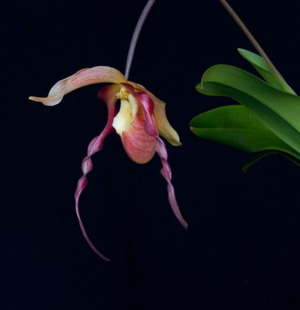 Dragon Fire orchidea eszencia