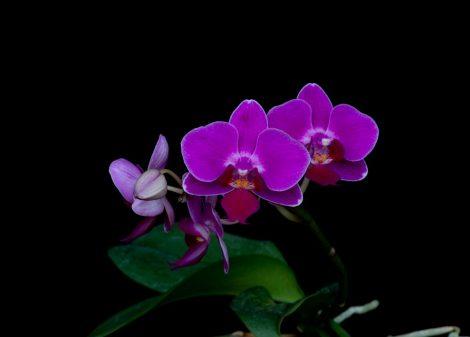 Compassionate Heart orchidea eszencia