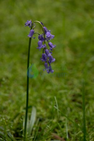 Bluebell orchid essence
