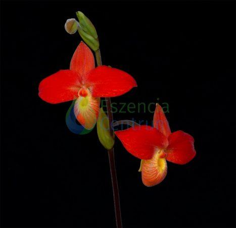 Higher Courage orchidea eszencia
