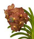 Rising Flame orchidea eszencia