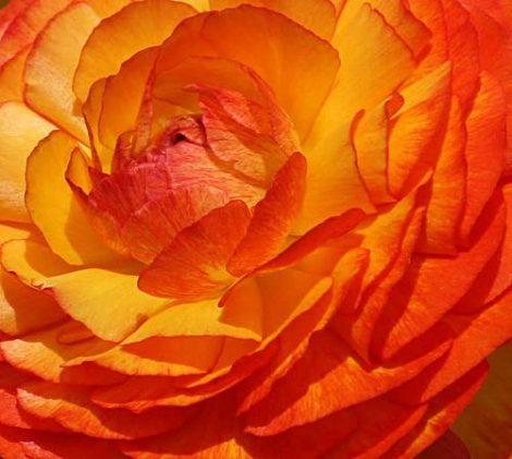 Orange Ruffles (14,2 cca. 15 ml.)