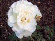 White Lightnin' (14,2 cca. 15 ml)